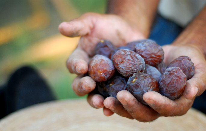 Freshly Harvested Dates | 7HOTDATES Organically Grown by the Bautista Family