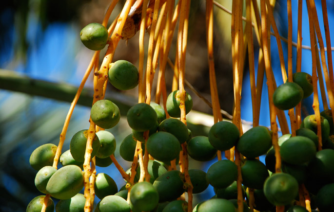 Dates on the Tree from 7HOTDATES Organically Grown by the Bautista Family