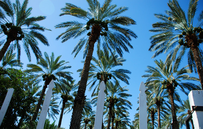 Date Palms | 7HOTDATES Organically Grown by the Bautista Family