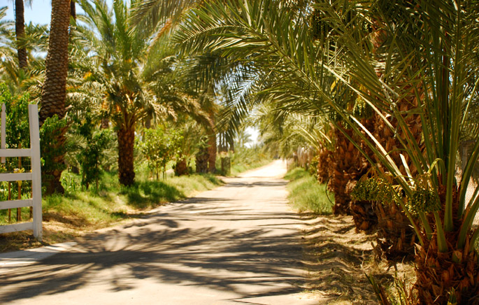 Date Palms at the Ranch - 7HOTDATES Organically Grown by the Bautista Family
